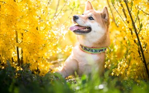 Picture language, look, face, flowers, branches, nature, pose, mood, portrait, dog, spring, yellow, garden, flowering, bokeh, …