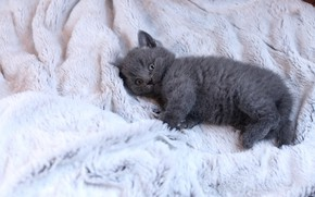 Picture cat, look, pose, kitty, grey, background, light, baby, lies, fur, kitty, British