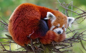 Picture face, branches, nature, pose, background, tree, stay, lies, red Panda, on the tree, red Panda, …