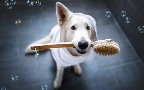 Picture look, face, clothing, tile, dog, bubbles, white, bathroom, view, Bathrobe, brush, pet, bathroom, Swiss shepherd …