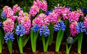 Wallpaper flowers, blue, pink, blue, pink, flowers, hyacinths