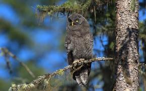 Picture look, light, branches, tree, owl, bird, grey, needles, bokeh, yellow eyes, blue sky