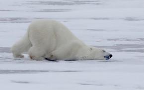 Picture winter, Polar bear, Polar bear