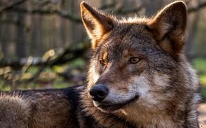 Picture face, wolf, predator