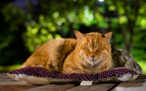 Picture greens, cat, cat, face, nature, background, stay, Board, sleep, red, sleeping, lies, pillow, Kote, bokeh