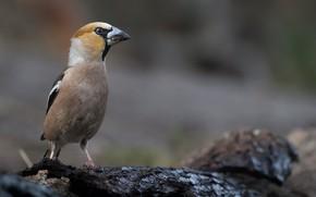 Picture bird, bokeh, Grosbeak