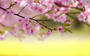 Picture branches, cherry, spring, Sakura, flowering, flowers