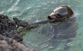 Picture look, water, stones, seal, predator, lizard, bathing, tail, hunting, Navy seal, pond, hunter, iguana, swimming, …
