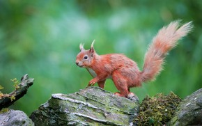 Picture green, stones, background, protein, red, wildlife, squirrel, rodent