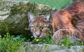 Picture greens, cat, summer, grass, look, face, flowers, nature, pose, background, stone, portrait, lynx, wild cat, …