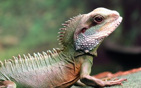 Picture look, face, pose, background, legs, lizard, profile, water, reptile, Agama