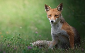 Picture summer, grass, look, face, nature, pose, glade, Fox, red, sitting