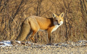 Picture autumn, light, branches, nature, pebbles, thickets, spring, Fox, red, the bushes, Fox