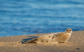 Picture sand, sea, beach, water, shore, seal, lies, face, Navy seal, cub, pond, young