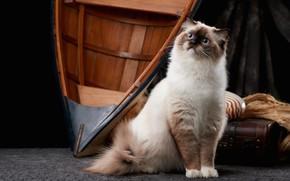 Picture cat, cat, look, boat, suitcase, sitting, Studio, ragdoll