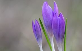 Picture flowers, background, spring, crocuses, buds, lilac