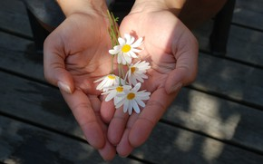 Picture flowers, mood, chamomile, hands