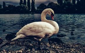 Picture white, pebbles, the dark background, bird, shore, Swan, pond