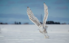 Picture winter, field, the sky, look, snow, flight, pose, owl, bird, the snow, white, polar, snowy …