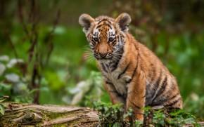 Wallpaper tiger, cub, kitty, bokeh, tiger