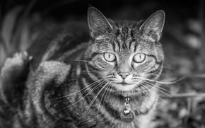 Picture cat, look, collar