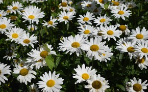 Picture flowers, the dark background, glade, chamomile, meadow, white, a lot, chamomile field