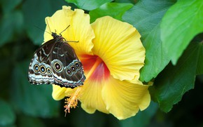 Picture yellow, butterfly, hibiscus