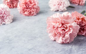 Picture flowers, petals, pink, pink, flowers, beautiful, clove, carnation
