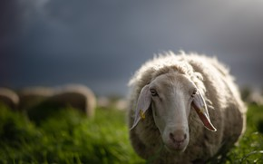 Picture nature, background, sheep