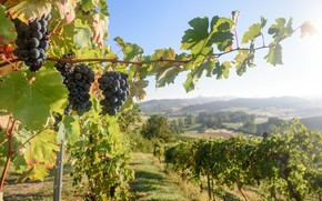 Picture harvest, grapes, Italy, vineyard