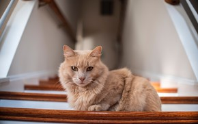 Picture cat, fluffy, red, the stairs