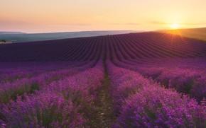 Picture field, dawn, lavender