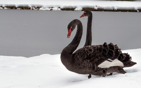 Picture winter, snow, birds, shore, two, pair, Swan, a couple, Duo, swans, two, pond, black, two …