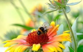 Picture flower, macro, bumblebee, Gaylardiya