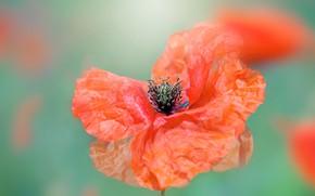 Picture flower, macro, red, Mac, Maki, blur, green background