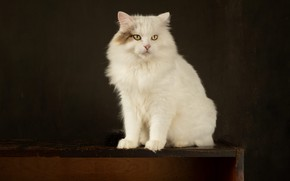 Picture cat, cat, look, pose, the dark background, table, muzzle, white, sitting, Studio
