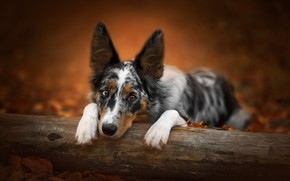 Picture autumn, look, face, leaves, nature, pose, background, portrait, dog, paws, log, the border collie, spotted, …