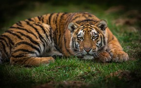 Picture summer, grass, look, face, nature, tiger, pose, lies, wild cat, tiger, young, tiger, teen