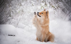 Picture dog, winter, snow, red, snowfall, branches, the eurasier
