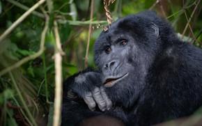 Picture look, face, branches, pose, portrait, monkey, gorilla, black