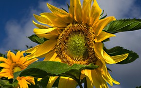 Picture summer, the sky, leaves, sunflowers, flowers, close-up, yellow, sunflower