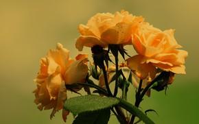 Picture flowers, orange, roses, bouquet