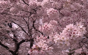 Picture flowers, branches, tree, spring, Sakura, pink, flowering, a lot, rich