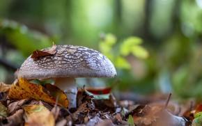 Picture leaves, mushroom, mushroom, bokeh