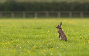 Picture field, summer, grass, flowers, nature, pose, grey, glade, the fence, hare, meadow, ears, Bunny, lawn, …