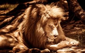 Picture light, nature, pose, tree, sleep, Leo, paws, Sepia, mane, sleeping, lies, shadows, Sunny, wild cat, …