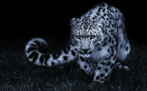 Picture grass, look, face, night, pose, darkness, glade, tail, IRBIS, snow leopard, black background, sneaks
