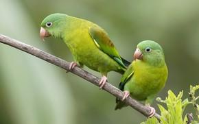 Picture branch, green, parrots