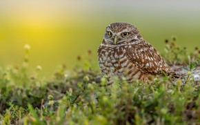 Picture grass, look, owl, bird, owl, sychik
