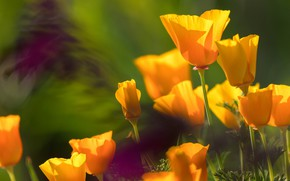 Picture light, flowers, bright, blur, yellow, petals, orange, buds, a lot, green background, bokeh, escholzia